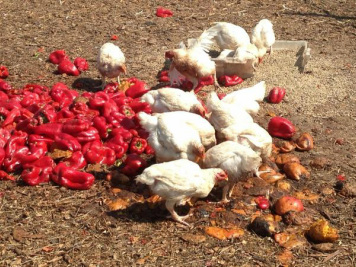 photo of chickens in farmyard