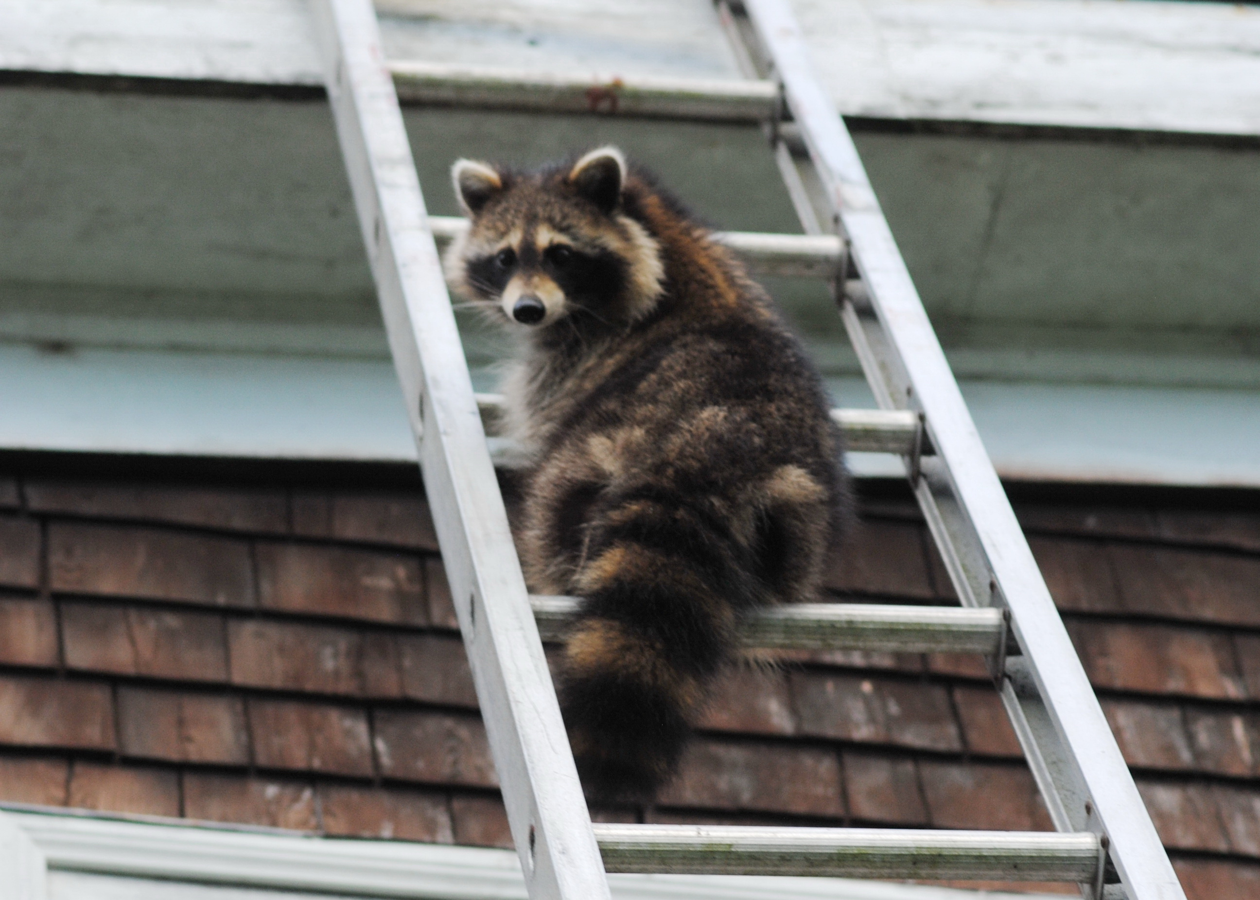 photo of racoon on ladder